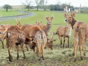 Deer at Whipsnade